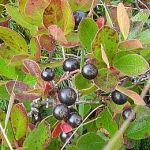 Huckleberry Bush