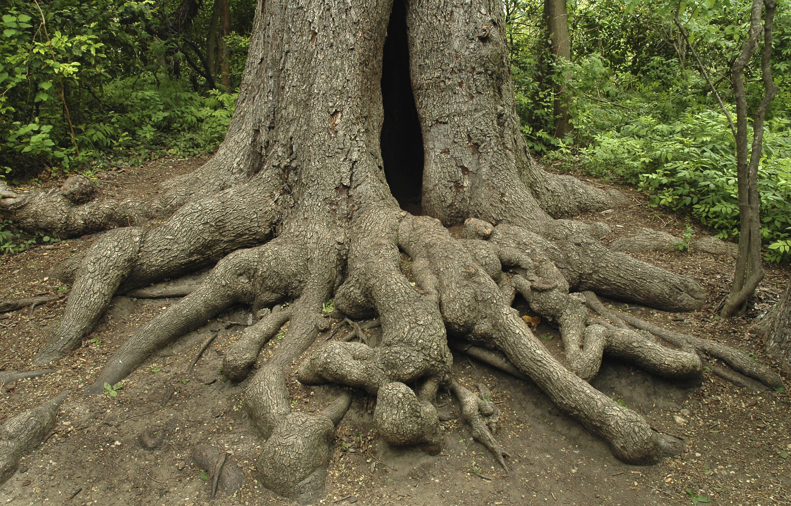 Oak Tree With Roots Oak Tree Roots Above G...